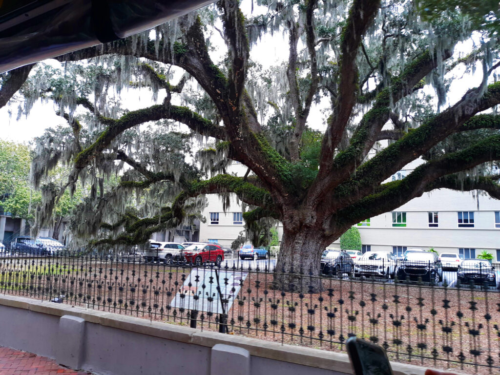 This 300-year-old live oak was already here when Oglethorpe arrived.  The live oak is now the state tree.