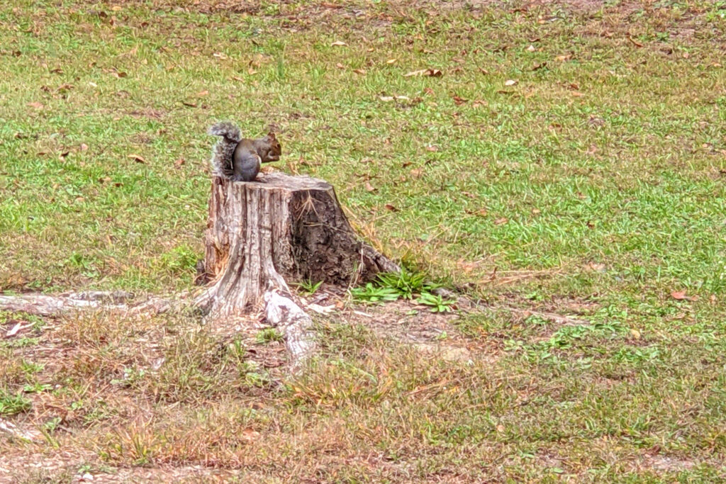 A local squirrel mounts his little stage to perform for hikers along the trail.  This park also has some unusual black squirrels.